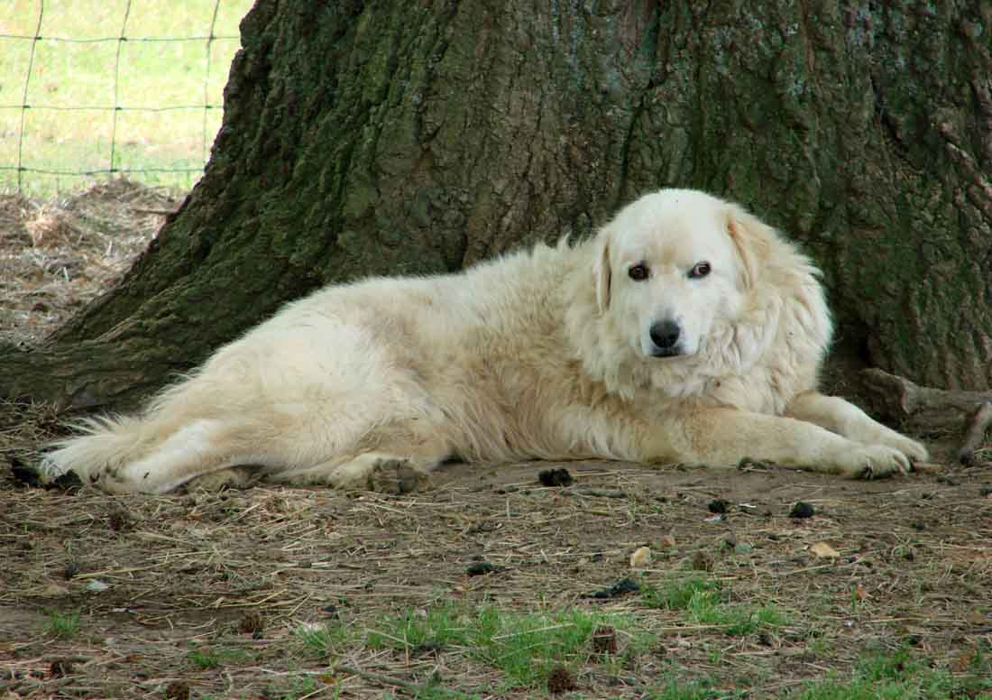 maremma dogs for sale rural ramblings