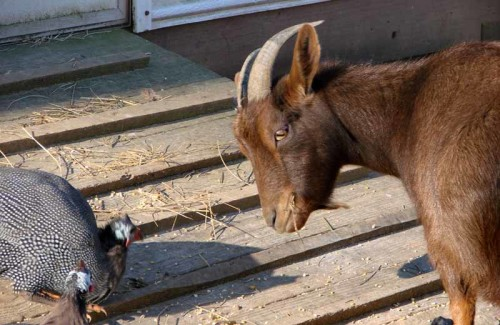 01-21-08 goat