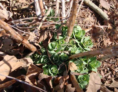 picture of sedum shoots