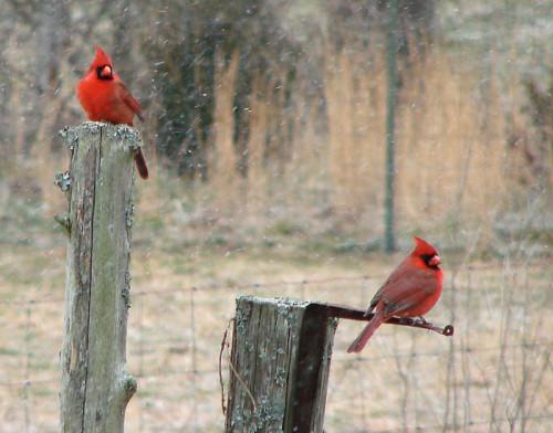 02-13-08 2-cardinals