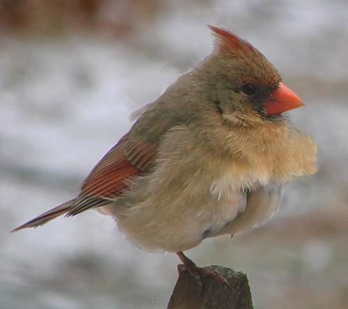 02-13-08 lady-cardinal