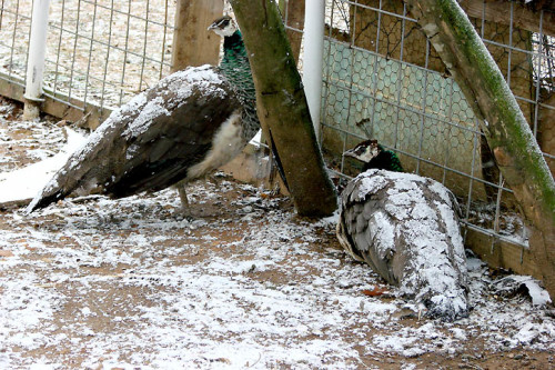 picture of snowy peahens