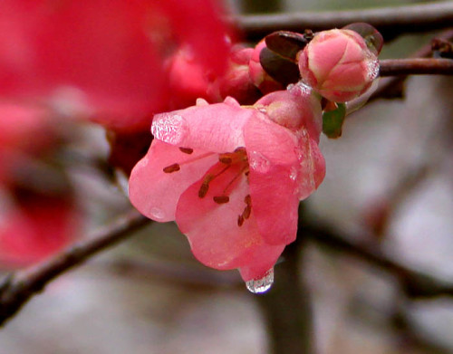 picture of quince bloom