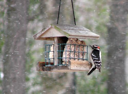 02-13-08 woodpecker
