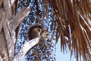 Squirrel in Palm Tree.