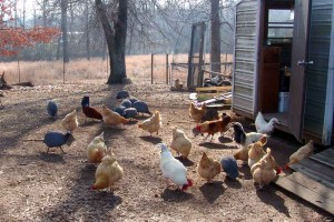 A yard full of fowl.