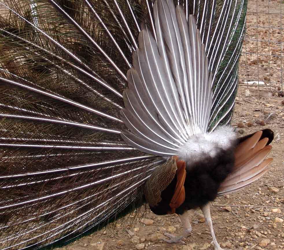 Peacock's backside!