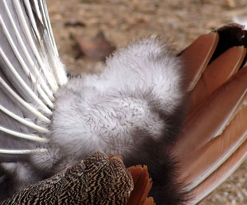Fluffy Peacock Feathers.