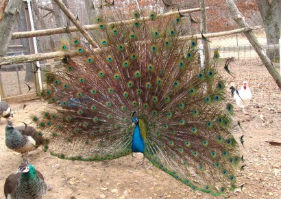 Peacock showing off.