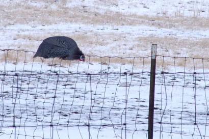 Guinea on Fence