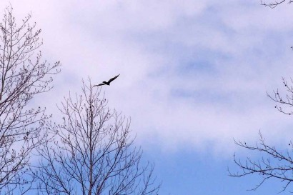 Blue skies with hawk flying.