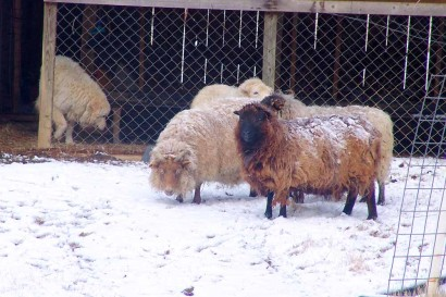 Sheep in Snow.