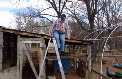 The Farmer climbing down off the roof of the peafowl pen.