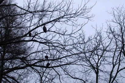 Guineas in treetops.