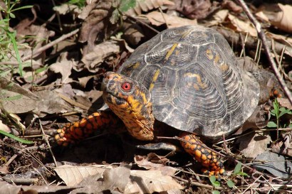 Box Turtle - Male