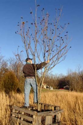 The Farmer in a pecan tree.