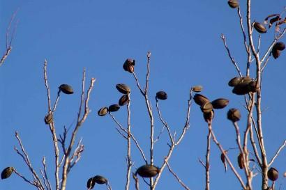 Top of Pecan Tree