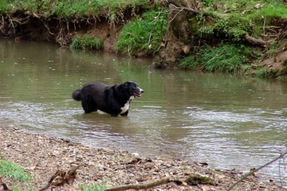 Farm Collie in creek.