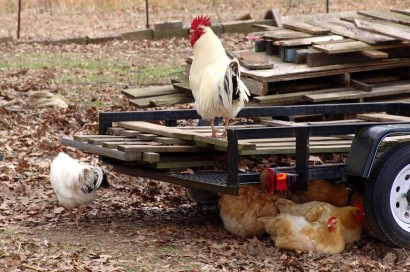 Chickens with two roosters.