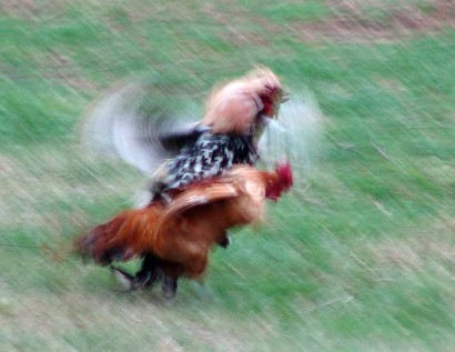 Roosters fighting in pasture.