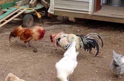 Rooster Showdown!