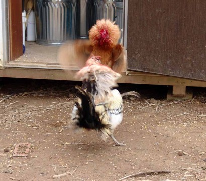 More rooster fighting!