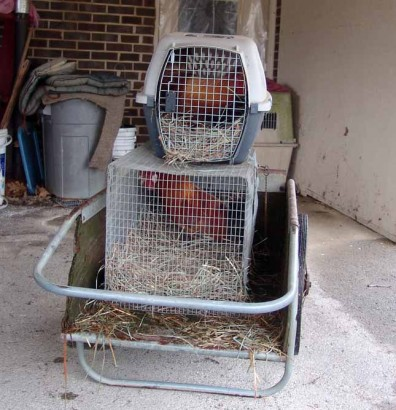 Roosters ready for pick-up.