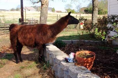 Llama Samson eating leaves off rosebush.