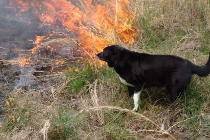 Toby, our Farm Collie, watching the fire.