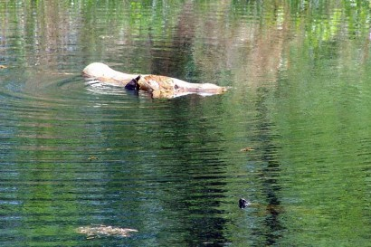 Two turtles in the pond.