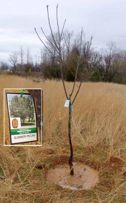 Young Sumner Pecan Tree