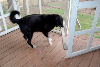 Toby trying to get board through doorway.