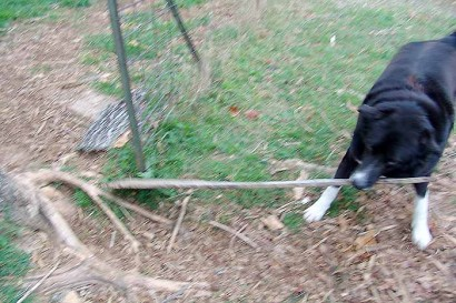 Toby pulls board through gate.