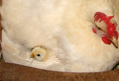 Chick peeking through hen's feathers.
