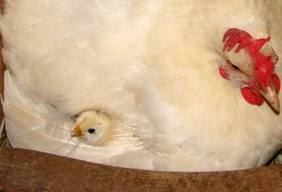 Chick peeking through hen's feathers.