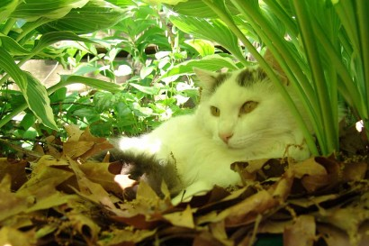 Cat looking out from under hostas.