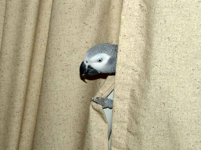 Parrot peeping out from behind curtains.