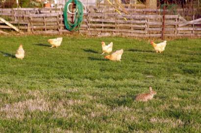 Rabbit among the hens.
