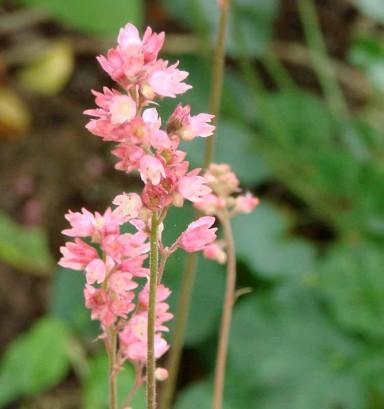 Coral Bells (Heuchera sanguinea)