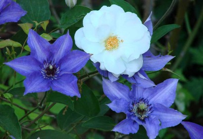 White Iceburg Rose with Clematis