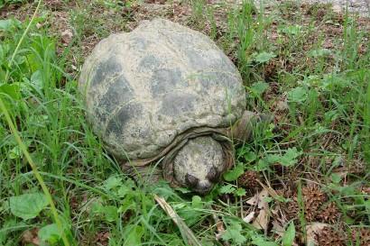 Turtle crawling towards pond.