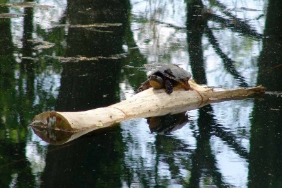 Turtle napping on log.