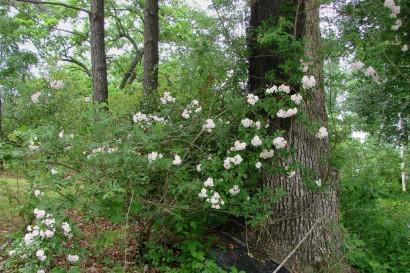 Paul's Himalayan Musk Rambler Rose