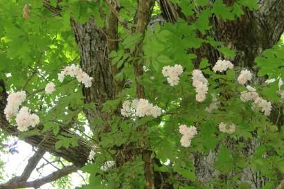 Paul's Himalayan Musk Rambler in treetop.