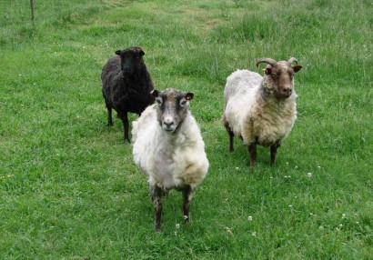 Three Newly Sheared Shetland Ewes
