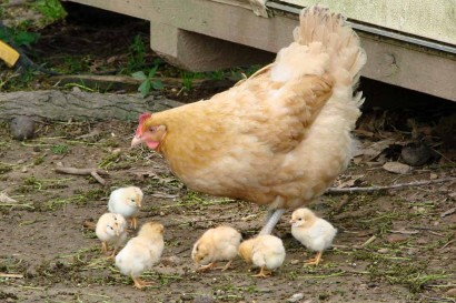 Buff Orpington hen with 6 chicks.
