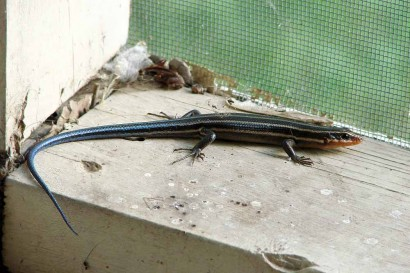Southeastern Five Lined Skink