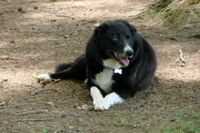 Toby, our American Farm Collie