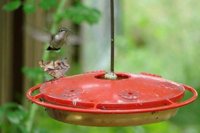 Hummingbird looking at butterfly on feeder.