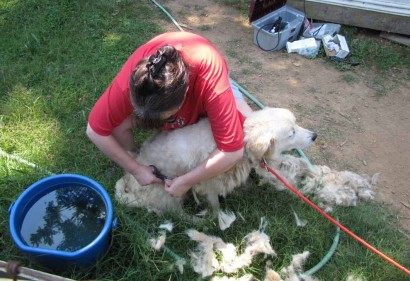 Bending over to give Maremma Neffie her haircut.